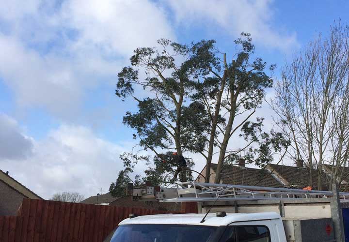 Crown Reductions Eucalyptus Tree