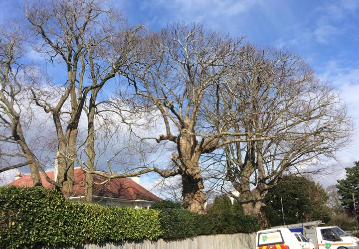 Crown Reductions Beech, Tulip and Sweet Chestnut