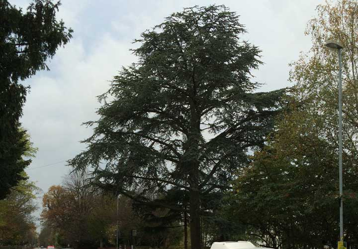 Crown Reductions Poplar Tree